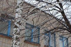 Árboles de abedul en primavera temprana en un día soleado Foto de archivo libre de regalías