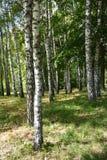 Árboles de abedul en sol brillante Fotos de archivo libres de regalías