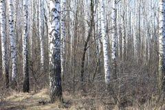 Árboles de abedul en sol brillante Fotografía de archivo
