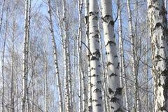 Árboles de abedul en sol brillante Foto de archivo libre de regalías