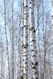 Árboles de abedul en sol brillante Fotografía de archivo libre de regalías