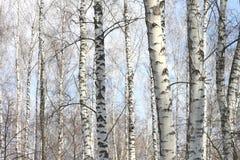Árboles de abedul en sol brillante Imagen de archivo