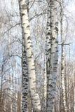 Árboles de abedul en sol brillante Fotos de archivo