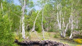 Árboles de abedul en suelo volcánico en la cuesta del Etna Fotografía de archivo libre de regalías