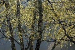 Árboles de abedul en tiempo de primavera Fotos de archivo