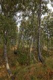 Árboles de abedul en un barranco Imágenes de archivo libres de regalías