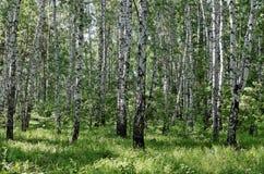 Árboles de abedul en un bosque Imagenes de archivo