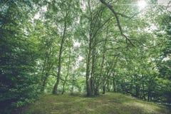 Árboles de abedul en un bosque Imagen de archivo libre de regalías