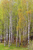 Árboles de abedul en un bosque Fotografía de archivo libre de regalías