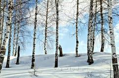 Árboles de abedul en un bosque del invierno Fotografía de archivo libre de regalías