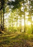 Árboles de abedul en un bosque del otoño Fotografía de archivo