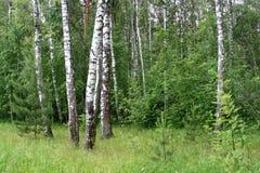 Árboles de abedul en un bosque del verano Fotos de archivo libres de regalías