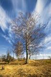 Árboles de abedul en un bosque del verano bajo el cielo del sol Imagen de archivo