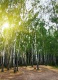 Árboles de abedul en un bosque del verano bajo el sol Imagenes de archivo