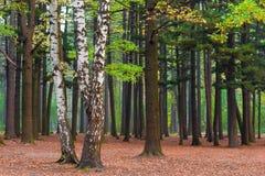 Árboles de abedul en un bosque mezclado Fotografía de archivo libre de regalías