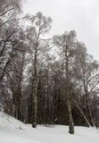 Árboles de abedul en un bosque nevoso, Fotografía de archivo libre de regalías