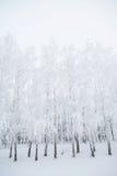 Árboles de abedul en un bosque nevoso blanco y negro Foto de archivo