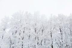 Árboles de abedul en un bosque nevoso blanco y negro Imagen de archivo