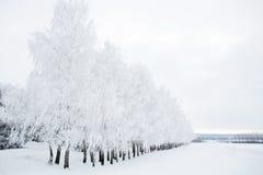 Árboles de abedul en un bosque nevoso blanco y negro Fotos de archivo