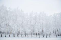 Árboles de abedul en un bosque nevoso blanco y negro Foto de archivo libre de regalías