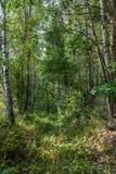 Árboles de abedul en un bosque verde fresco Fotos de archivo libres de regalías