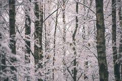 árboles de abedul en un día frío en el bosque nevoso del invierno - vintage f Fotografía de archivo libre de regalías