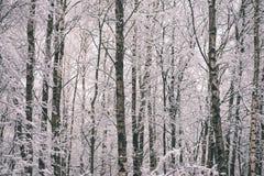 árboles de abedul en un día frío en el bosque nevoso del invierno - vintage f Imágenes de archivo libres de regalías