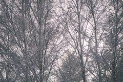 árboles de abedul en un día frío en el bosque nevoso del invierno - vintage f Fotos de archivo libres de regalías