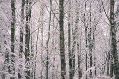 árboles de abedul en un día frío en el bosque nevoso del invierno - vintage f Imagenes de archivo