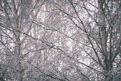 árboles de abedul en un día frío en el bosque nevoso del invierno - vintage f Foto de archivo