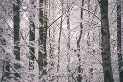 árboles de abedul en un día frío en el bosque nevoso del invierno - vintage f Imagen de archivo libre de regalías