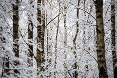 Árboles de abedul en un día frío en el bosque nevoso del invierno Fotografía de archivo libre de regalías