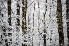Árboles de abedul en un día frío en el bosque nevoso del invierno Foto de archivo