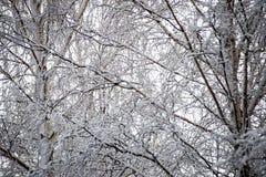Árboles de abedul en un día frío en el bosque nevoso del invierno Imágenes de archivo libres de regalías