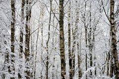 Árboles de abedul en un día frío en el bosque nevoso del invierno Imagen de archivo libre de regalías