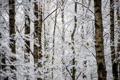 Árboles de abedul en un día frío en el bosque nevoso del invierno Imagenes de archivo