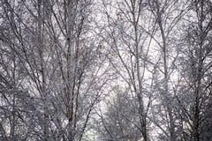 Árboles de abedul en un día frío en el bosque nevoso del invierno Foto de archivo libre de regalías