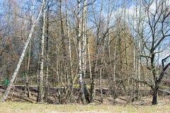 Árboles de abedul en un parque de la primavera Día asoleado Imagen de archivo libre de regalías