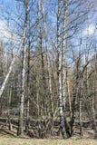 Árboles de abedul en un parque de la primavera Día asoleado Imagen vertical Fotografía de archivo libre de regalías