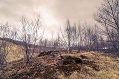 Árboles de abedul en un prado Foto de archivo