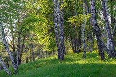 Árboles de abedul en un prado verde Fotos de archivo libres de regalías