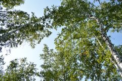 Árboles de abedul en un verano soleado Wen en el bosque, visión inferior Imagenes de archivo