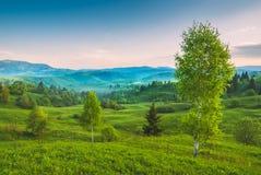 Árboles de abedul en una colina verde Imagen de archivo