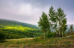 Árboles de abedul en una ladera en otoño Foto de archivo