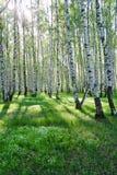 Árboles de abedul en verano imagenes de archivo