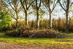 Árboles de abedul en wineyards del otoño Foto de archivo