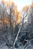 Árboles de abedul en winte Imagen de archivo