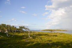 Árboles de abedul enanos Foto de archivo libre de regalías