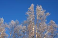 Árboles de abedul escarchados en Alaska Imagen de archivo