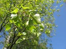 Árboles de abedul finlandeses Fotografía de archivo